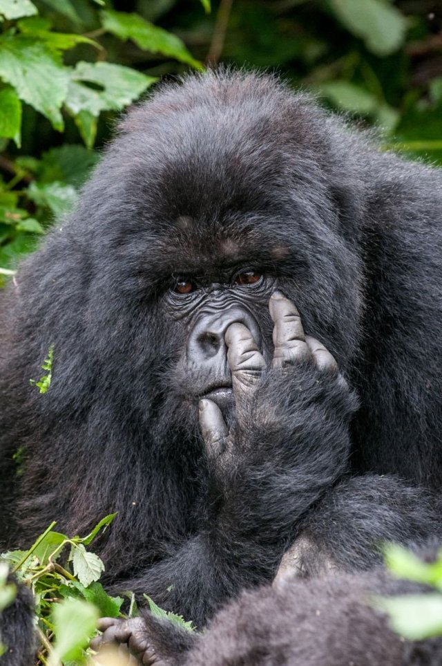 this-silverback-mountain-gorilla-doesnt-care-what-you-think